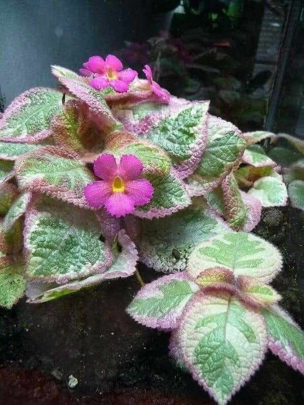 Byplantasonya Bunga Gantung Tanaman Hias Daun Bunga