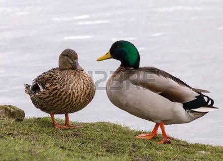 Wilde Stockente (Anas platyrhynchos) Paar zusammen auf dem Rand des Wassers Ruhe…