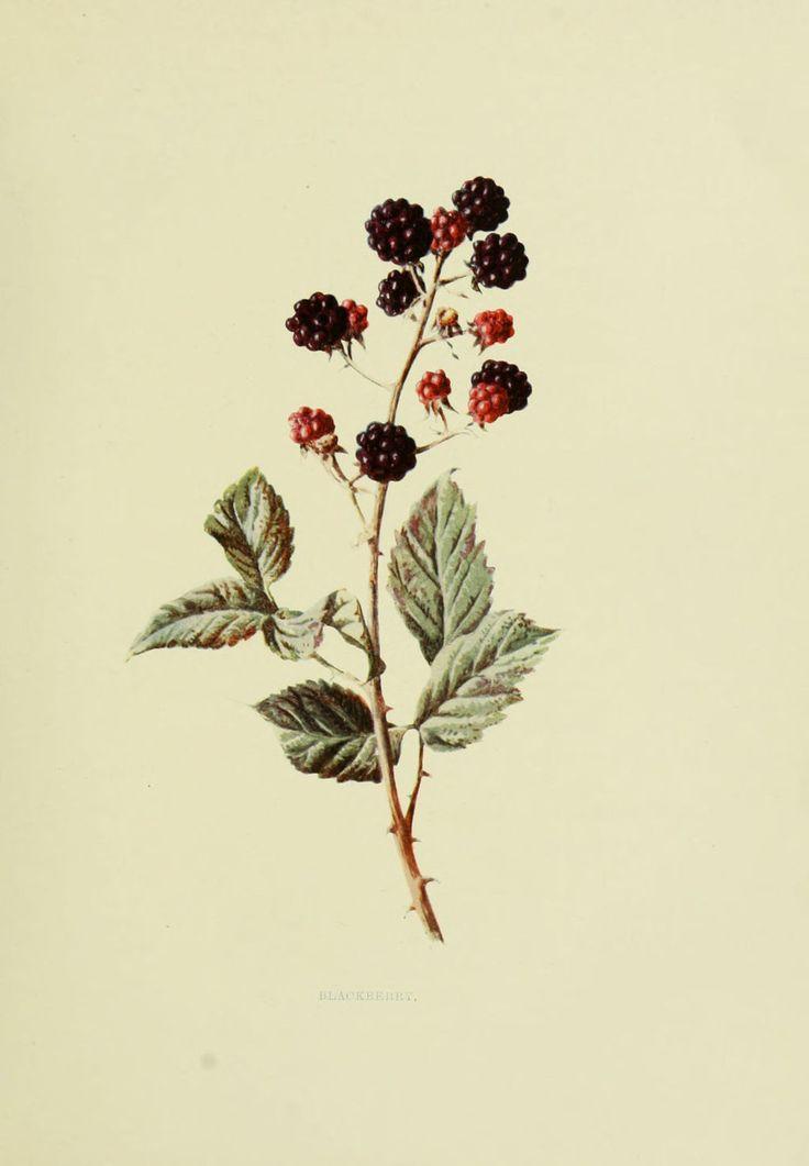Gravures fruits sauvages - Gravures fruits sauvages 115 blackberry - rubus fruticosus - ronce a mures - Gravures, illustrations, dessins, images