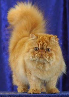 Quais são as raças de gatos mais populares? Dicas Felinas responde.