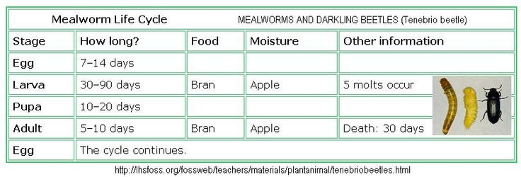 (link) MEALWORMS and DARKLING BEETLES (Tenebrio beetle) ~ The mealworm is not a worm; it is a larva. Mealworms are the larval stage of darkling (aka Tenebrio) beetles. Darkling beetles follow a life history known as complete metamorphosis. A female beetle lays eggs, as many as 500 in her brief lifetime of a month or two.   ~ for more great PINs w/good links visit @djohnisee ~ have fun!