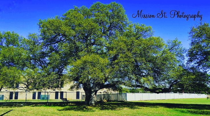 Great old live oak behind the glen rose apartments