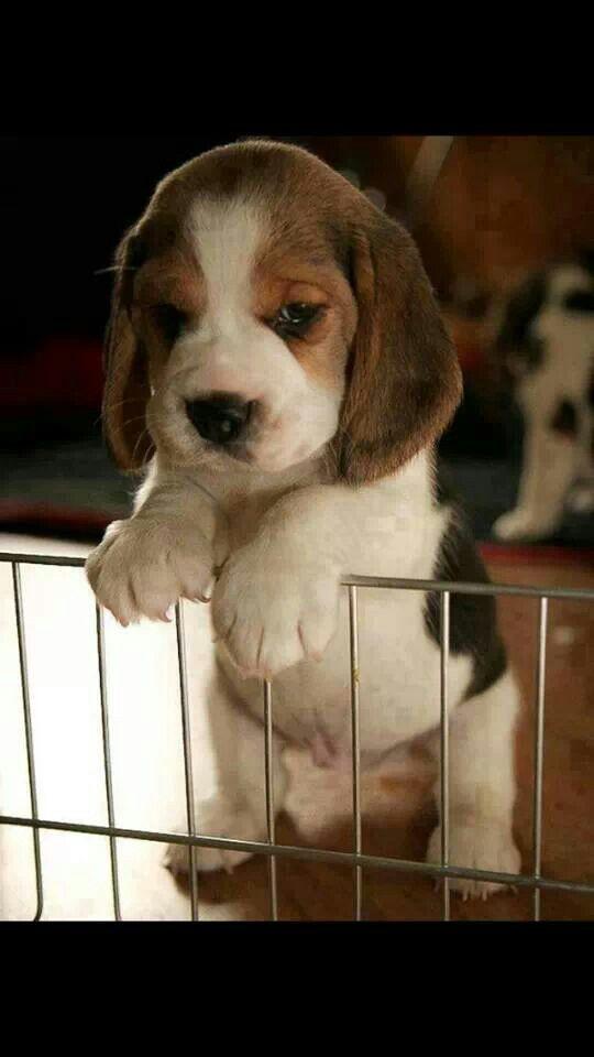 Beagle puppy ♡
