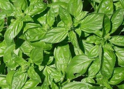 Las 25 mejores ideas sobre planta de albahaca en pinterest for Cultivo de albahaca en interior