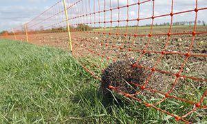 Um ouriço inoperante prendido em uma cerca elétrica em uma exploração agrícola em Suffolk.