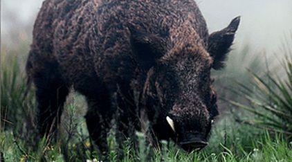 Texas Hog Hunting near Austin, Houston & San Antonio, Wild Hog Hunt Tx, Pig Hunt Texas, Best Hog Hunting in Texas, Texas Hog Hunting Ranch