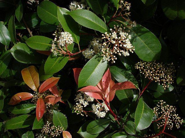 Αειθαλής θάμνος, με εξαιρετικά εντυπωσιακό φύλλωμα το οποίο κοκκινίζει στη νέα βλάστηση. Το ύψος του φτάνει τα 3-4 m. Τα φύλλα είναι επιμήκη, σκληρά και πολύ φωτεινά. Ανθίζει Μάρτιο-Απρίλιο και έχει εύρος ανθοφορίας 15-20 μέρες. Προτιμά ηλιαζόμενες ή ημισκιερές θέσεις. Ο ρυθμός ανάπτυξής της είναι μέτριος. Αναπτύσσεται καλύτερα σε ελαφρά, ηλιαζόμενα και αποστραγγιζόμενα εδάφη. Αντέχει στους παγετούς και το ψύχος, με την επίδραση των οποίων κοκκινίζουν τα φύλλα της το χειμώνα. Φύτευση είτε…