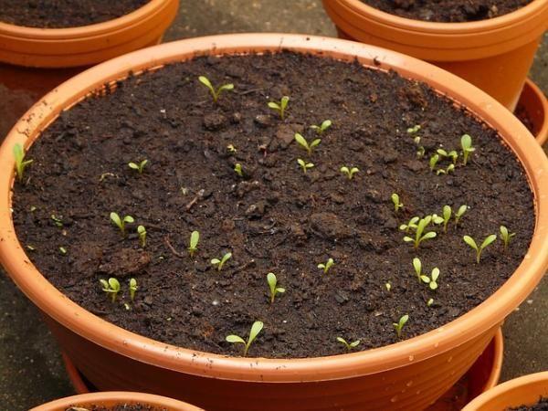 Cómo sembrar albahaca en casa. La albahaca es una planta aromática muy común para plantar en casay que puede utilizarse también en la cocina, por ejemplo para hacer salsa pesto. Y ¿qué mejor que usar albahaca fresca y cultivada por...