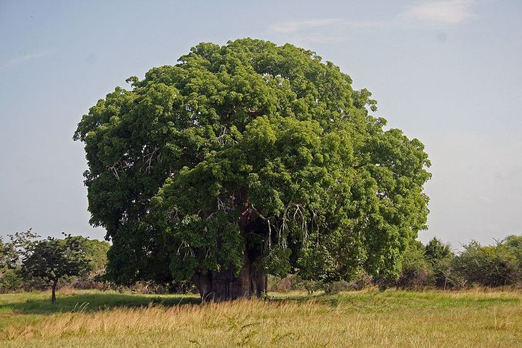 800px-Baobab_Adansonia_digitata.jpg (800×533)