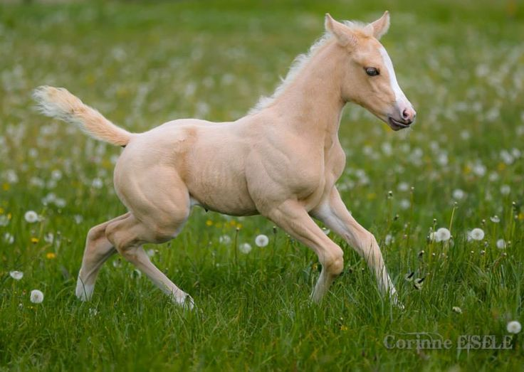 palomino foal - photo #20