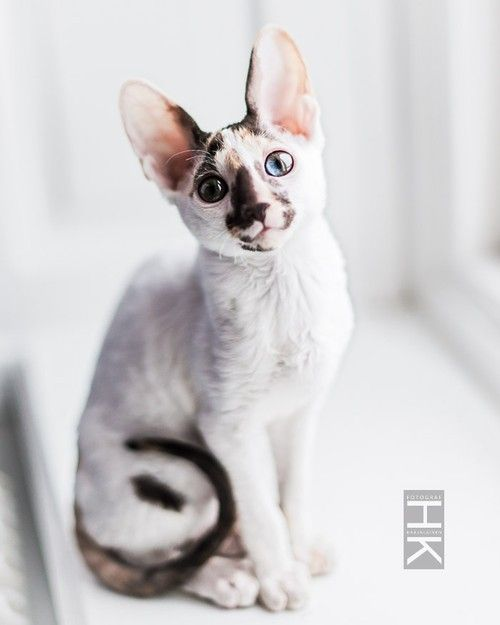 Photographer Helena Karjalainen / Cornish Rex cat 12 weeks old.