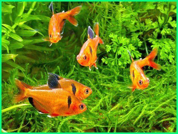 Cara Merawat Ikan Hias Serpae Tetra Dunia Fauna Hewan Binatang Tumbuhan Ikan Binatang Ikan Air Tawar