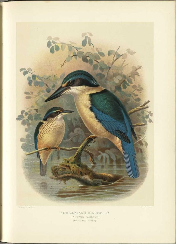 'A History of the Birds of New Zealand', 1888 by Sir Walter Lawry Buller