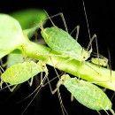 Afidos o pulgones y su control ecológico. Plaga que afecta a las siguientes plantas: AEONIUM NEGRO-ANTURIO ANDREANUM