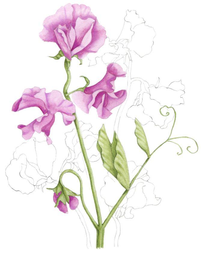 Sweet-peas illustration. An illustration for Australian House & Garden magazine May 2013. © Allison Langton