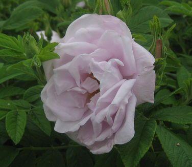 119 besten rugosa roses bilder auf pinterest mehrj hrige pflanzen strauchrosen und. Black Bedroom Furniture Sets. Home Design Ideas