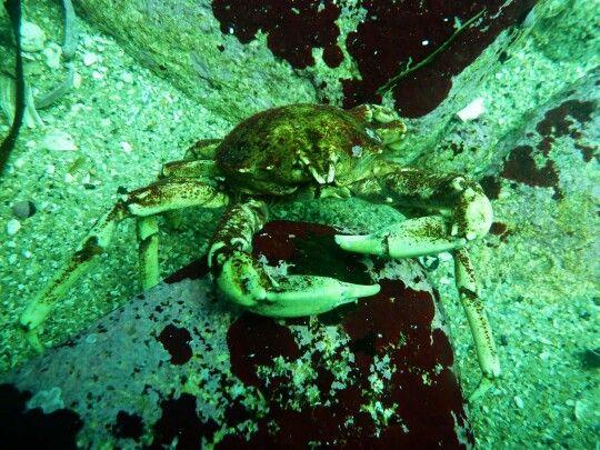 Crustáceo de Chome