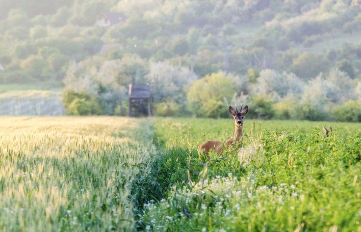 Róth Hajnalka Találkozás A Móri borvidéken rengeteg vad él, a szántóföldeken gyakorta lehet találkozni őzekkel, ez a bak is épp itt vacsorázott, a csodaszép nyári lemenő napfényben. Több kép Hajnalkától: https://www.facebook.com/nalkaroth/