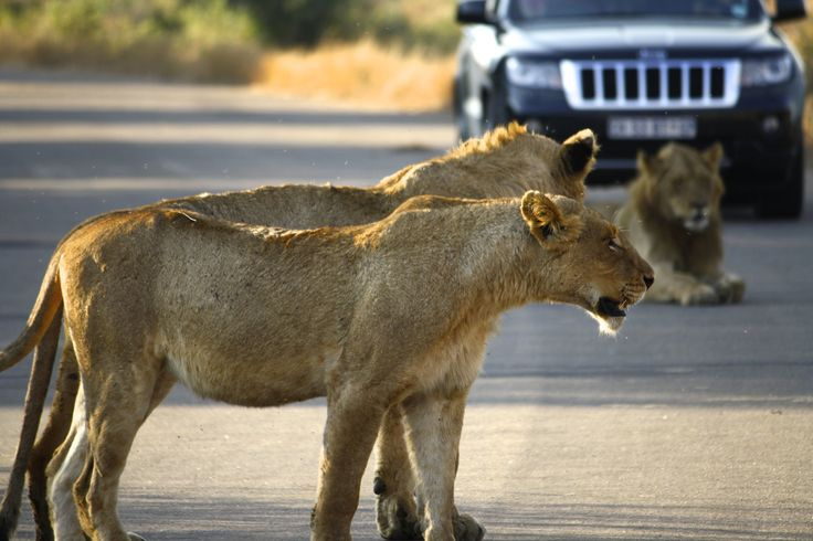 The majestic lions in the Kruger National Park - just chilling in the road.