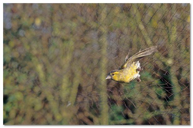Boete van 5.000 euro voor recidivist-vogelvanger
