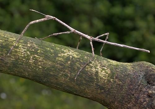 Walking Stick insect / named Harry - after Harry Lauder - as that's the name of the famous Scots entertainer from the 40's who had a walking stick named after him in Scotland