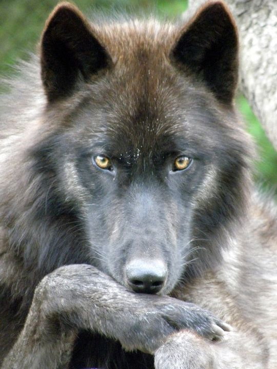 "Ok, I absolutely LOVE this pic! The calm intelligent gaze is just awesome! You know theres an intelligent ""soul"" in there. Stunning!"