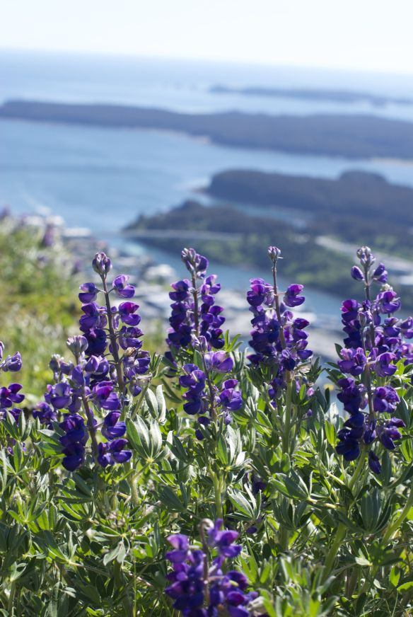 Lupine, Pillar Mountain, Kodiak, Alaska
