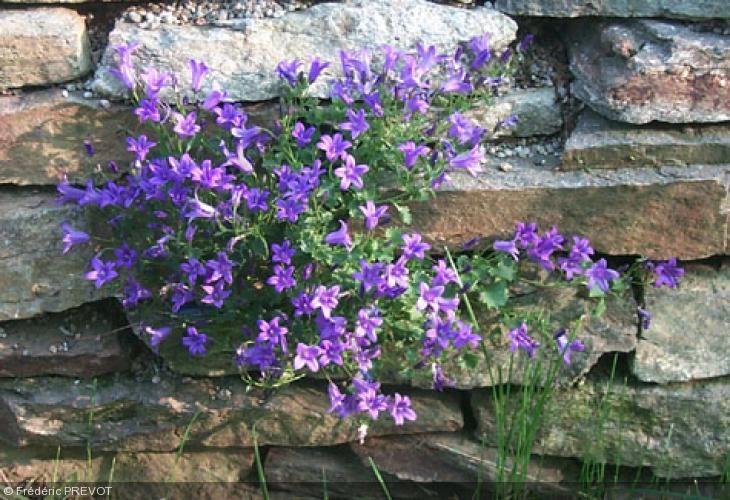 Rocaille Ombre 11 best fleurs de rocaille images on pinterest | perennial, blossoms