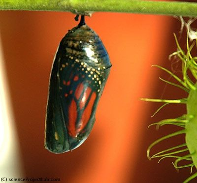 Bright sunlight can trigger monarch hatching.