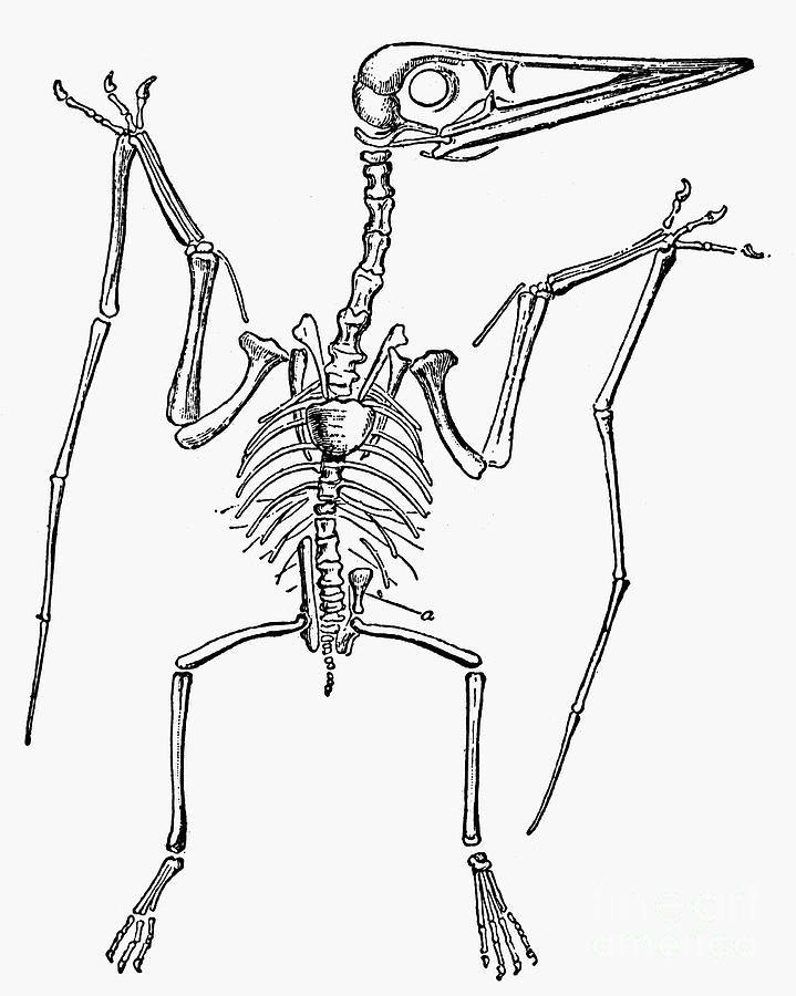 Jurassic Park Velociraptor Skeleton Tattoo 37 best images about d...