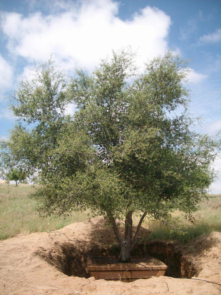 Quercus Agrifolia Coast Live Oak No Better Habitat Tree