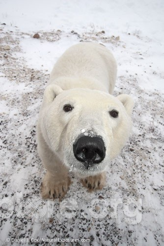 This is my nose.: Bears Sniff, Animal Images, Polar Bears, Animal Kingdom, Bigger Animal, Endangered Animal, Bears Tracing, Animal Friends, Bears Necessities