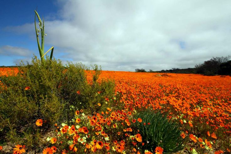 Namaqua National Park Spring fllower display by Adam Riley