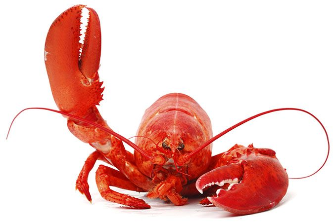 There are many nutritional and delicious benefits of eating lobster. Some of them include protecting heart health, increasing energy, decreasing inflammation, speeding healing, promoting growth, boosting brain functioning and building strong bones. Lobsters are shelled marine creatures which are...