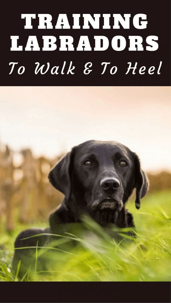 Training A Labrador To Walk To Heel Easiest Dogs To Train Dog