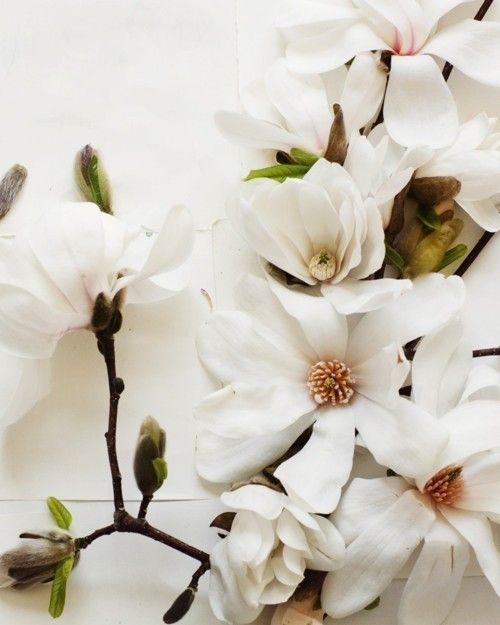 White magnolias /