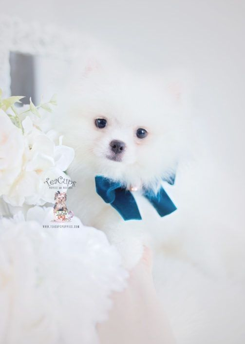Pin By Dora K Torres On Pomeranian Teacup Puppies