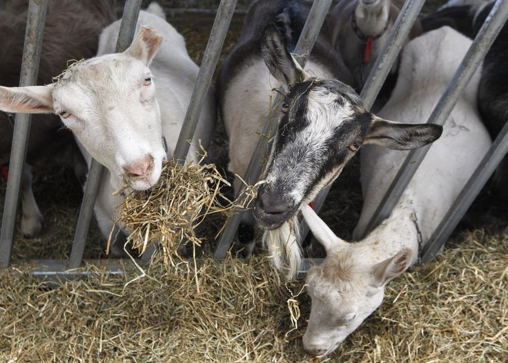 Wisconsin's LaClare Farms cashes in on the goat's milk industry