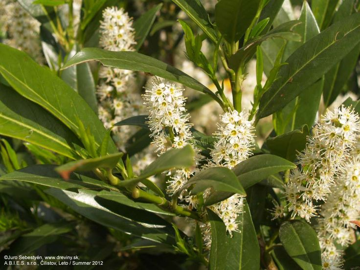 | Vavrínovec lekársky Otto Luyken | Prunus laurocerasus Otto Luyken