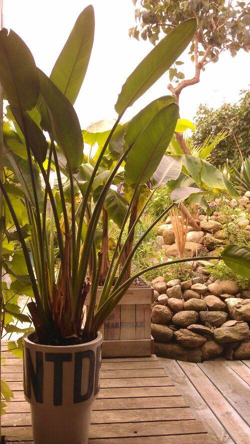 Strelitzia reginea in my garden © iminhave.dk