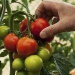 End Of Season Tomato Plant Care – Do Tomato Plants Die At The End Of Season