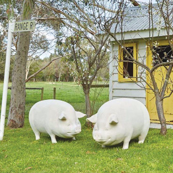 Gloucester pigs