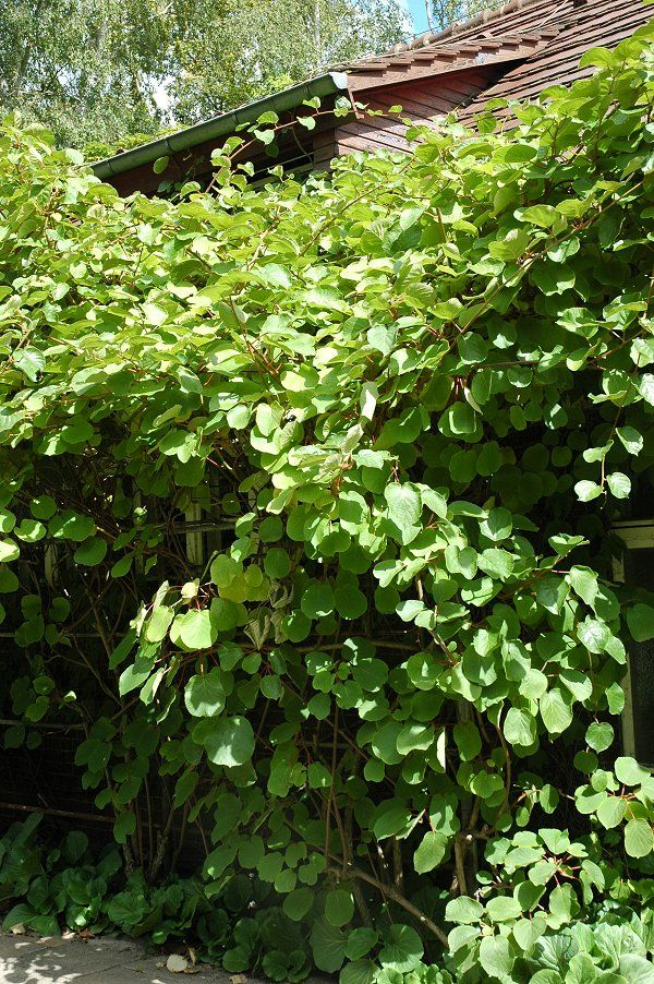 Actinidria delocia (KIWI!) You can grow this in Alabama! Halleluiah! It grows like a vine, similar to grapes. So on my garden list.