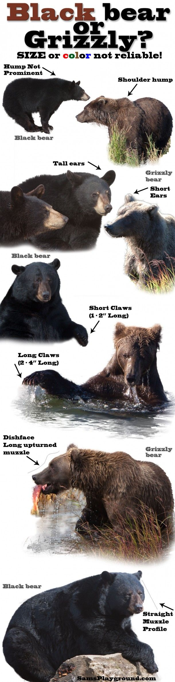 black or grizzly bear comparison info-graphic - its good to know the difference.