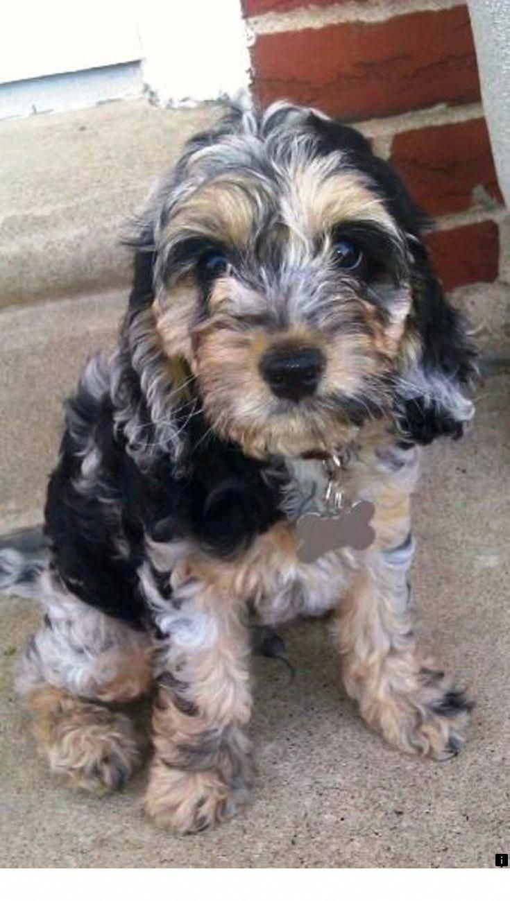 Figure Out Even More Information On Yorkshire Terrier Puppies Take A Look At Our Interne In 2020 Yorkshire Terrier Puppies Yorkshire Terrier Yorkshire Terrier Funny