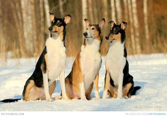 Smooth Collie Brother's in the Snow Tricolored fur