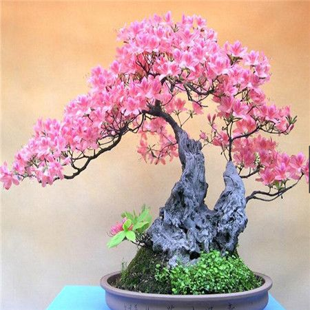 2015 Bonsai azalea Seeds 200pcs 10kinds mix Flower Seeds Novel Plant for Garden Free Shipping-in Bonsai from Home & Garden on Aliexpress.com | Alibaba Group