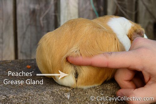 1000 ideas about guinea pig cages on pinterest guinea for How to clean guinea pig cages