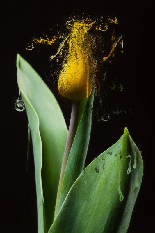 Dissolving Tulip - http://www.contemporary-artists.co.uk/paintings/dissolving-tulip/