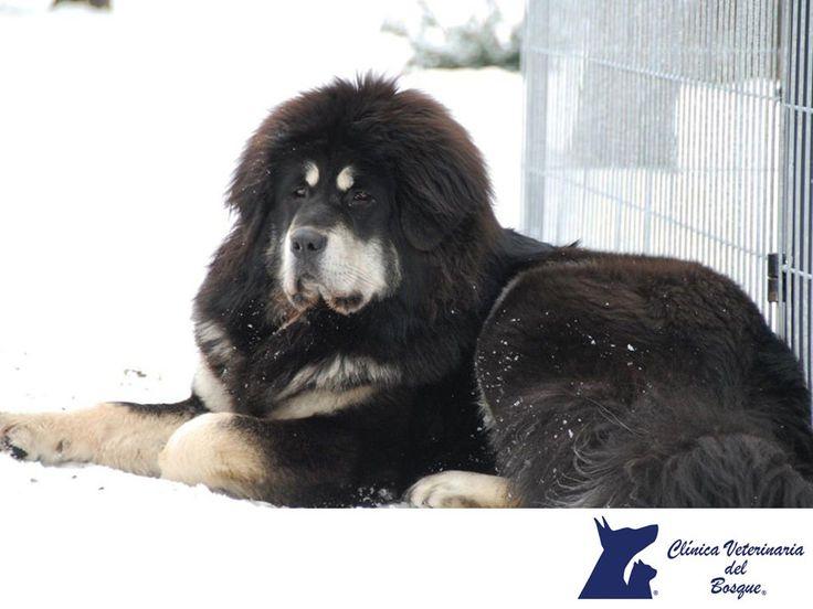 VETERINARIA DEL BOSQUE. ¿Sabes cuál es el perro más caro del mundo? Se trata del dogo del Tíbet o Mastín Tibetano. Recientemente un ejemplar de fue comprado por 2 millones de dólares. Esta es una raza sumamente antigua que creció como guardián de monasterios tibetanos, puede llegar a medir 61 cm de altura y pesar de 70 a 90 kg. A pesar de su grandeza se le reconoce por ser una mascota reservada pero amable y protectora. En Veterinaria del Bosque te damos datos curiosos y tips en nuestra…